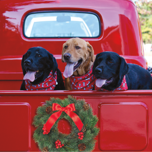 Labs in truck with holiday wreath